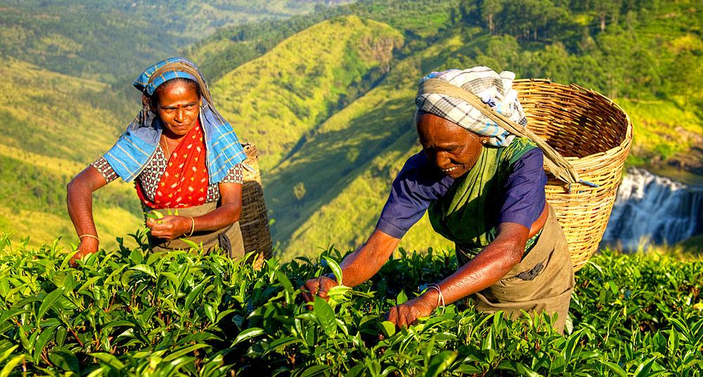 Tee Sri Lanka