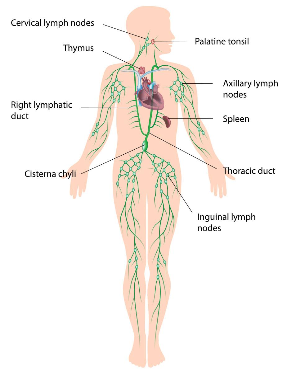 Ausgezeichnet Lymphknoten Im Körper Galerie - Menschliche Anatomie ...
